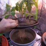 Growing Hydroponic Tomatoes Indoors in a Grow Tent Kratky    Update 1 Hydroponic Beefsteak Tomato