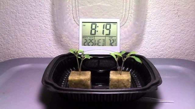 Hydroponic Tomato Experiment Time Lapse – Kratky Method