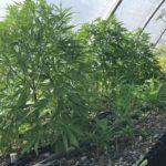 Organic hydroponics transplanting hemp clones; aquaponics without the fish.