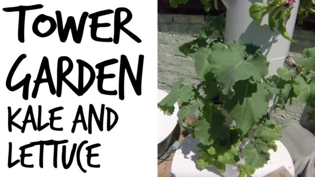 Kale and Lettuce Are HUGE in the Tower Garden