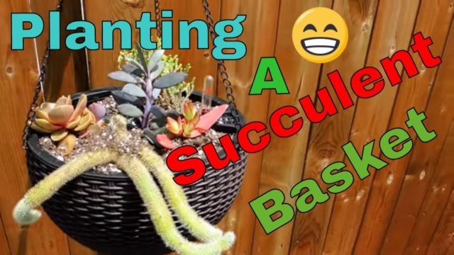 Planting succulent Hanging Baskets
