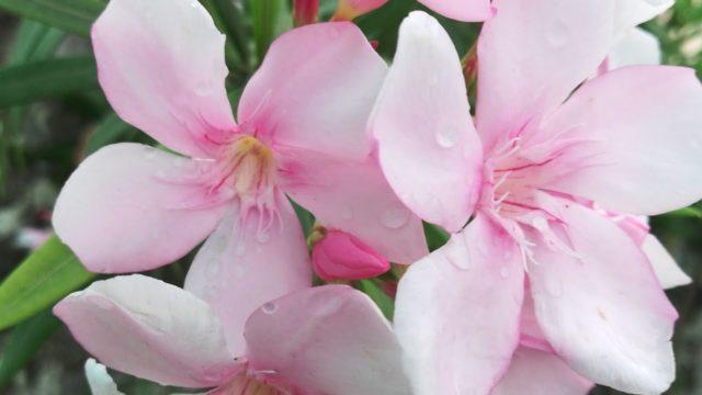 कनेर को Flowering पे लाने k लिए इतना करिए, Care Of Oleander to Get Maximum Blooms In Monsoons