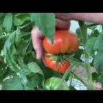 Hydroponic Tomatoes and Peppers Update