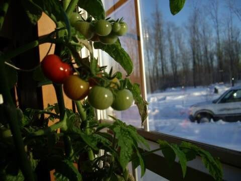 Grow a tomato plant indoors in winter