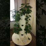 Aeroponic Cannabis Tower Garden Start 2017 pt1