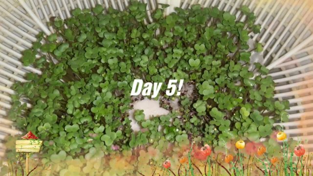 Growing mustard greens without soil hydroponically. Microgreens for beginners 🌱🌿🍀