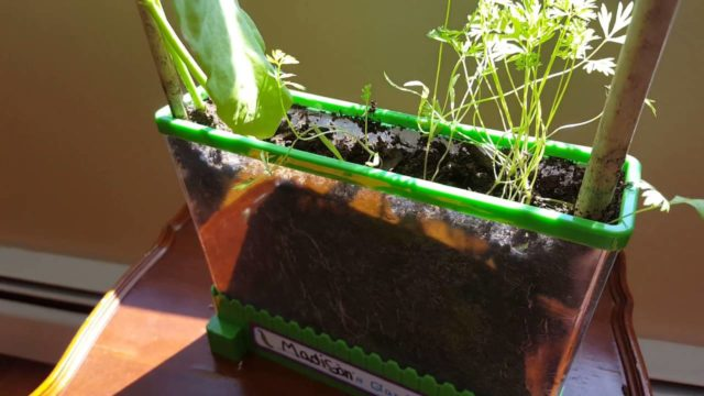 Review of Children's Vegetable Kit To View plants Growing roots