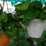 How to Make Money Plant Bushy In Hanging Basket