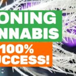 How to Clone Cannabis Plants (100% SUCCESS RATE!)