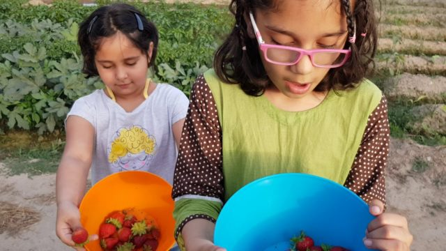Kitchen gardening Vegetables Strawberry by Children Pakistan Green Circle 03218669044