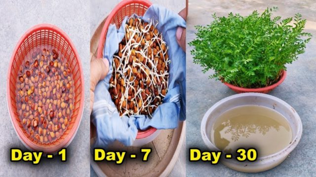 How to grow gram plant Hydroponically  ll  How To Grow CHANA ka saag in water without Soil