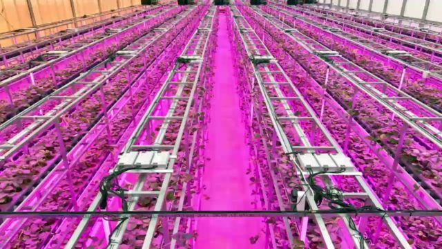 Strawberry indoor farming