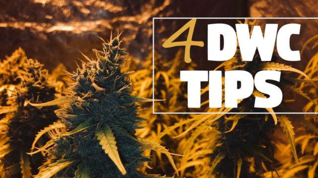Growing Monster Plants & Dense Nugs in DWC