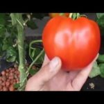 1lb Hydroponic Tomato- Deep Water Culture