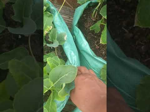 Deshi vegetable gardening from UK