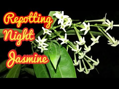 Repotting of Night Jasmine