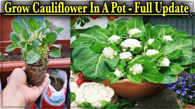 Easy Method To Grow Cauliflower From Seeds In A Pot ll From Seed to Harvest with the result
