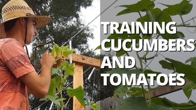 Trellising Cucumbers and Tomatoes on a Lower & Lean Trellis