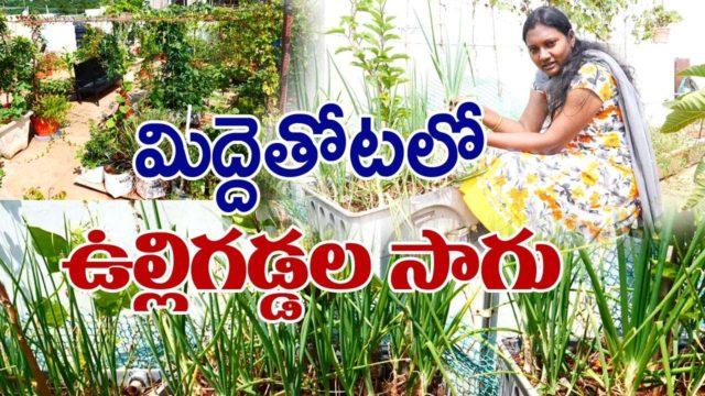 Grow onions in terrace garden || Roof Gardening tips || Shanti – Dheeraj || Rytunestham