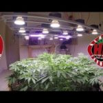 Indoor Organic Weed Farm with LED Cycle 3 No Till 7