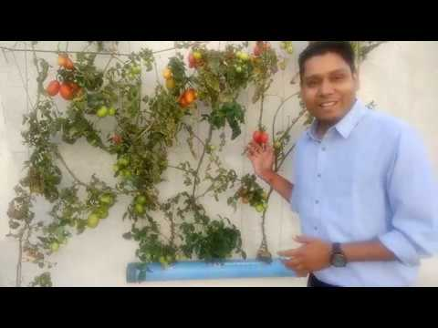 Hydroponics: How to Grow Tomatoes at Home