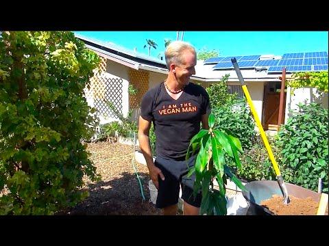 The World's Most Cold Tolerant Mango Tree – Planting an Antonio Mango Tree