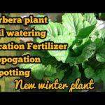 Repotting of GERBERA DAISY Care of Gerbera HOW TO GROW GERBERA Full Detail Care Hindi