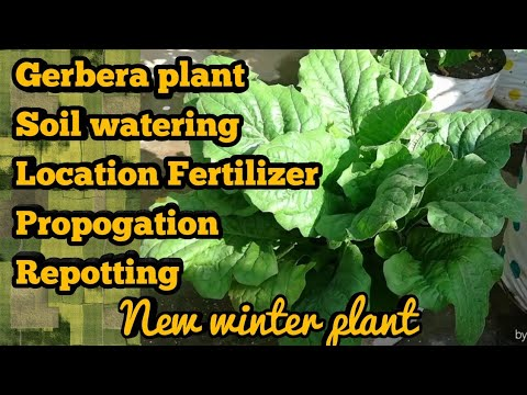 Repotting of GERBERA DAISY Care of Gerbera HOW TO GROW GERBERA Full Detail Care Hindi