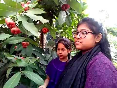 Star Apple in My Rooftop Garden. আমার ছাদ বাগানে  জামরুল