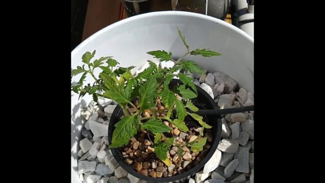 Growing Hydroponic Tomatoes!