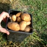 No Work Potato Garden Results