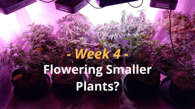 Cannabis Indoor Gardening #4 – Flowering Smaller Plants?