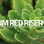 LiveRoof Green Roof Exclusive Plant Selections – Sedum Red Riser