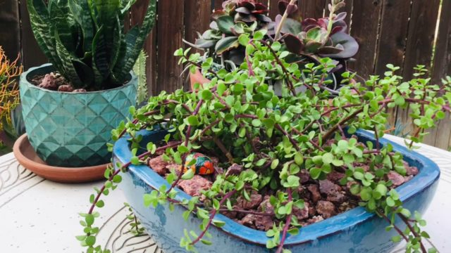 Hanging Plants for a Waterwise Succulent Garden
