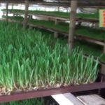 Hydroponic Grass Cultivation | ছাগল ও ডেইরি খামারীদের জন্য সু-খবর | ঘরে মাটি ছাড়া ট্রে'তে ঘাস চাষ