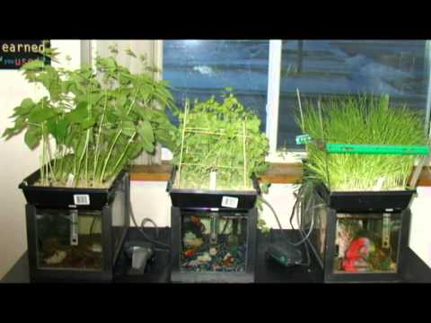 aquaponics system | aquaponics how to | aquaponics fish