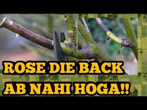 DieBack on Roses, Agar Aap Itni Choti Si  Info Jaan loge Toh Roses pe Die Back Nahi Hoga