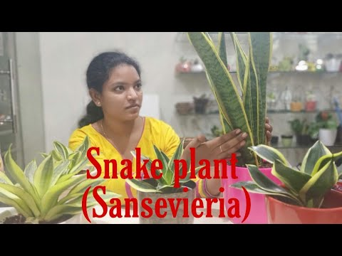 Snake plant  (Sansevieria) Care & Tips || Indoor Gardening