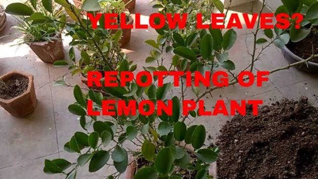 YELLOW LEAVES ON LEMON PLANT AND REPOTTING OF LEMON PLANT