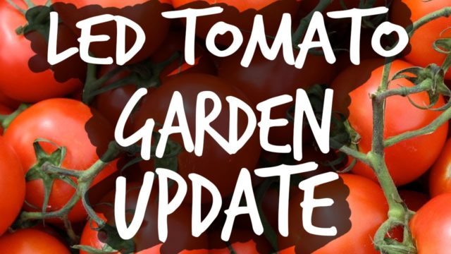 Growing Tomatoes with LEDs Update