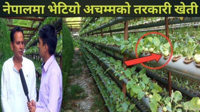 नेपालमा पनि सुरु भयो हाईड्रोपोनिक्स खेति  – Hydroponic Farming In Nepal – GS Guraya