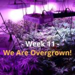Cannabis Indoor Gardening #11 – We Are Getting Overgrown!!!