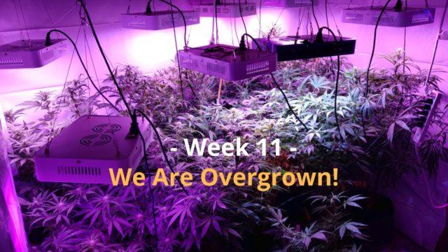 Cannabis Indoor Gardening #11 – We Are Getting Overgrown!!!