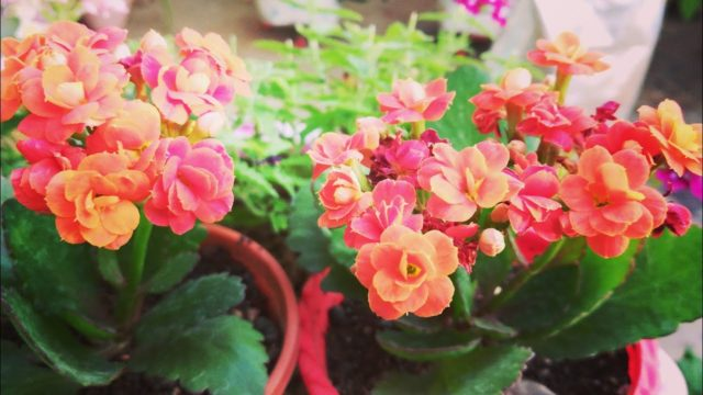 Kalanchoe को मरने से बचाए,,Save Ur Kalanchoe From Dying,Early Morning🌸🌸🌸 Flowers in Garden||