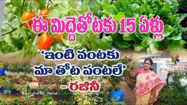 15 years old organic terrace garden || Vegetables, Fruits, flowers || Rajini || KPHB – HYD
