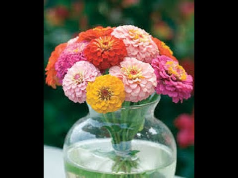 Growing Zinnia Hydroponically