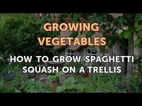 How to Grow Spaghetti Squash on a Trellis