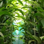 First Time In India: Turmeric Vertical Farming By A S Agri And Aqua LLP. | Maharashtra, India