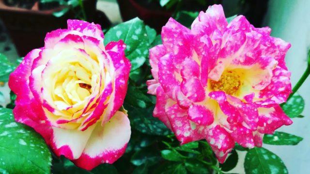 गुलाब को सर्दियो के लिए तैय्यार करे ||Get Ready Your Roses for Winter||