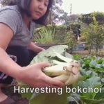 My 2020 vegetable garden || Harvesting vegetables